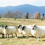 Braeburn Farms - sheep in field